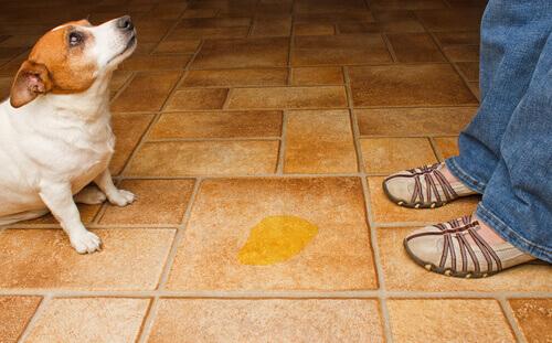 Ecco perché il cane urina in casa
