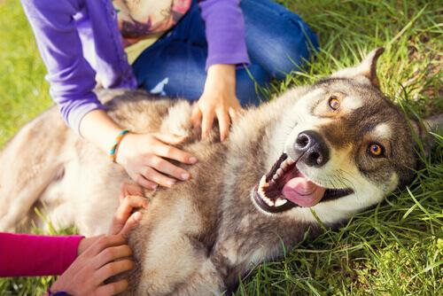 ragazze accarezzano lupo cecoslovacco