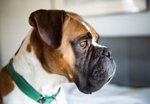 Sapevate che i cani possono soffrire di acne?