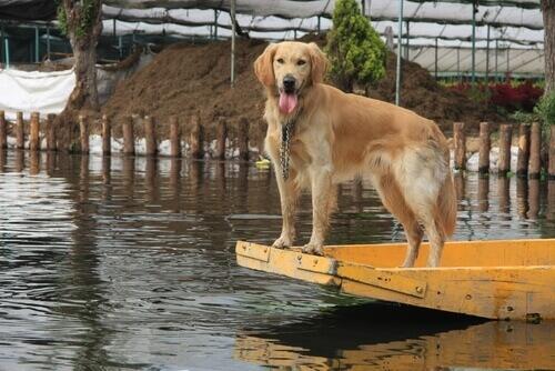 Una cagnolina salva i suoi cuccioli da un'inondazione