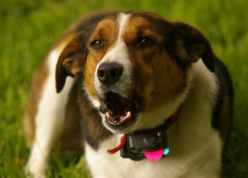 cane con collare antiabbaio