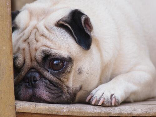 Come sapere se il vostro animale è triste