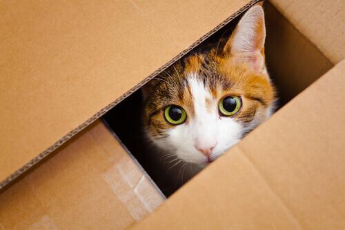gatto-scatolone