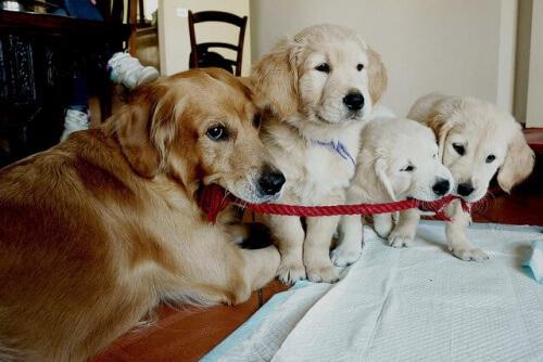 Golden retriever mamma e cuccioli