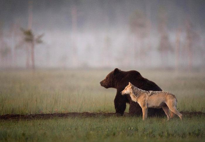 foto di un lupo e un orso