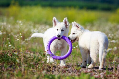 cuccioli bianchi giocano con cerchio viola