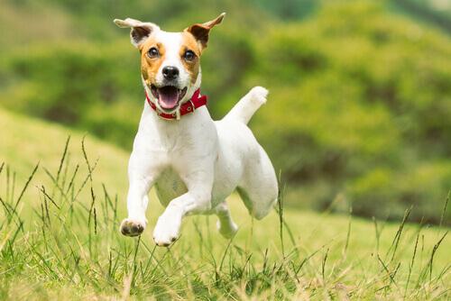 Jack rusell terrier corre sul prato