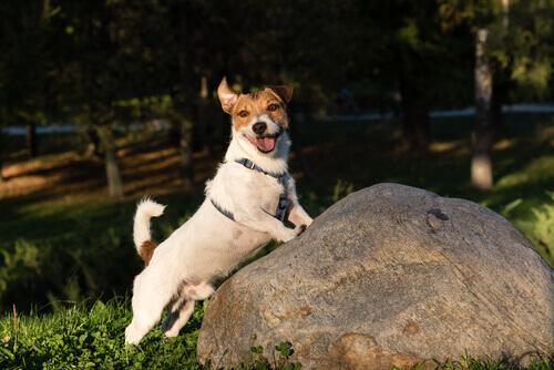 Pongo-jack-russel-terrier