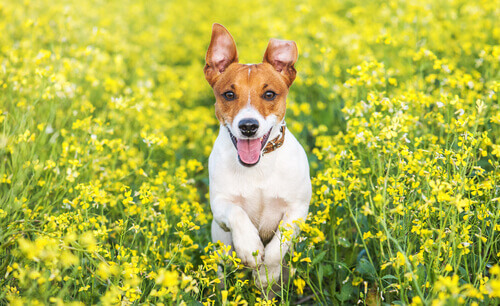 jack russell terrier tra i fiori