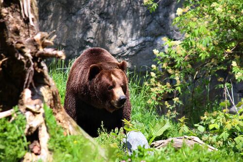 orso-bruno-nella-foresta