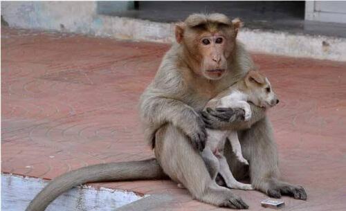 Macaco adotta un cucciolo di cane rimasto orfano