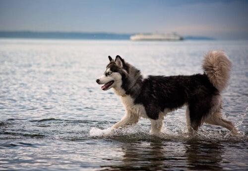 Cane-Husky-nell-acqua