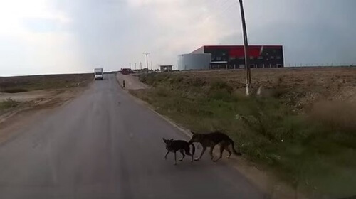 Un cane salva il proprio amico dal pericolo di essere investito