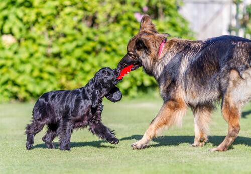 cani che giocano poco aggressivi