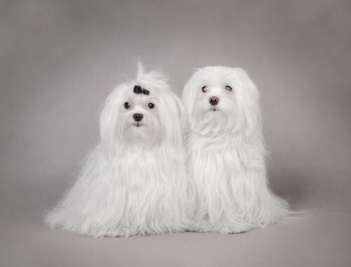 cani-di-razza-maltese