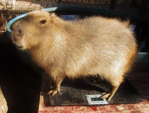 capibara-che-si-occupa-di-cuccioli-orfani-2-e1455974260599