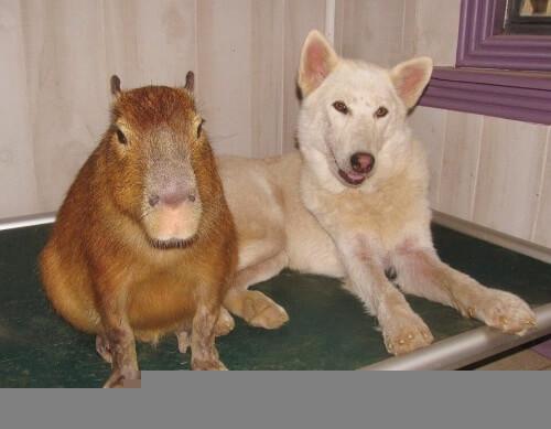cuccioli orfani accuditi da capibara