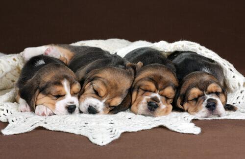 Nascono i primi cani con fecondazione in vitro