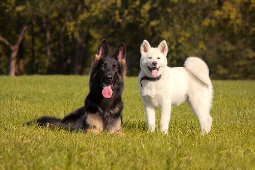 due cani che si piacciono
