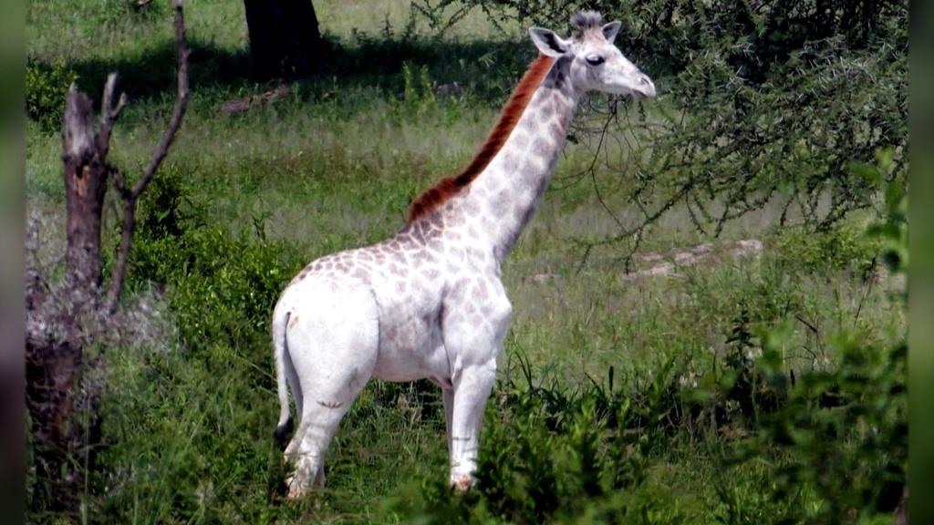 Omo, la prima giraffa bianca a non essere albina