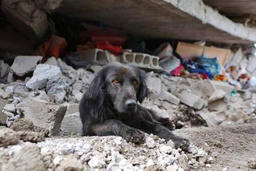 Cane tra rovine terremoto