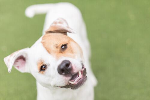cane con la coda in posizione orizzontale