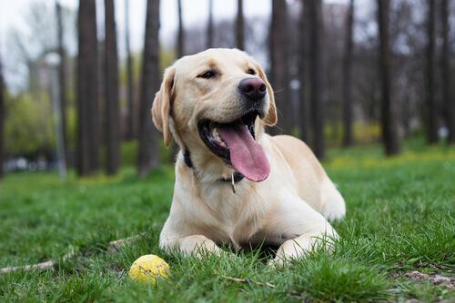 cane-labrador-palla
