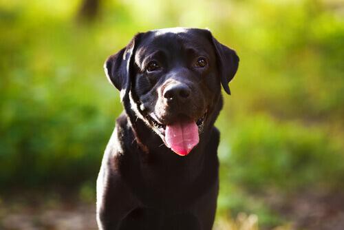 cane-nero-lingua-fuori