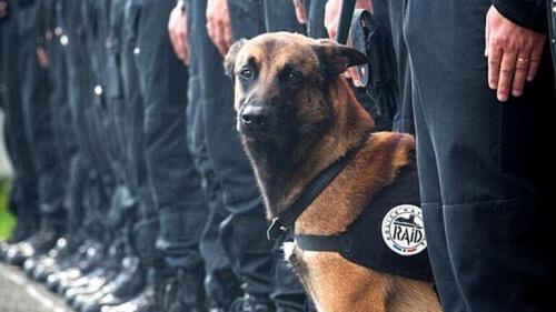 Diesel, il cane eroe degli attentati di Parigi, morto per gli spari di un poliziotto