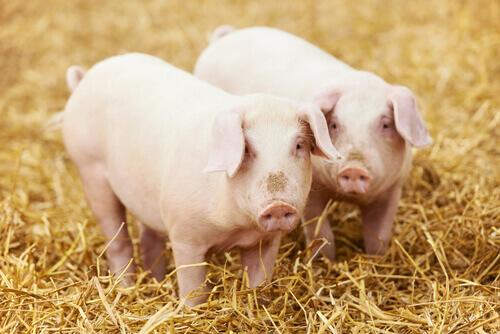 Coppia di maiali tra la paglia
