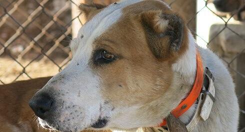 Veterinari e cacciatori colpevoli di mutilare cani