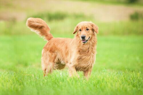 La nobiltà dei cani