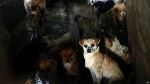 Animalisti contro il festival della carne di cane