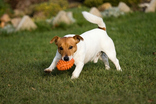 Cane che gioca sul prato con palla arancione