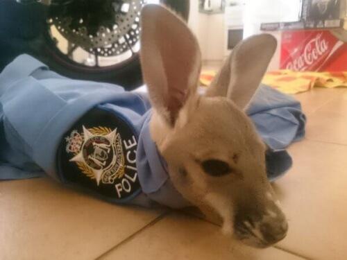 Piccolo canguro adottato in Australia da un commissariato