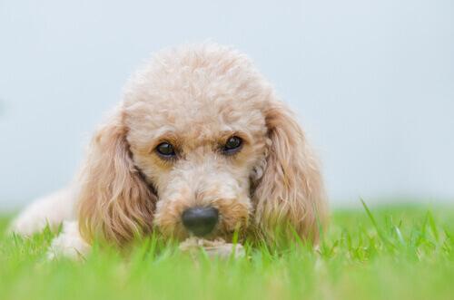 I cani di piccola taglia prevarranno nel mondo del futuro