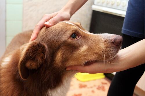 Cosa fare se il cane ha un attacco di epilessia e convulsioni?
