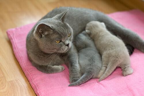 Le abitudini riproduttive dei gatti