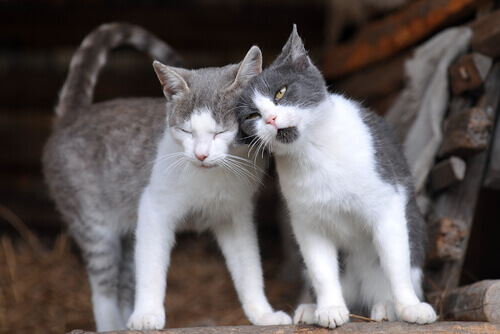 gatti-strofinando-testa