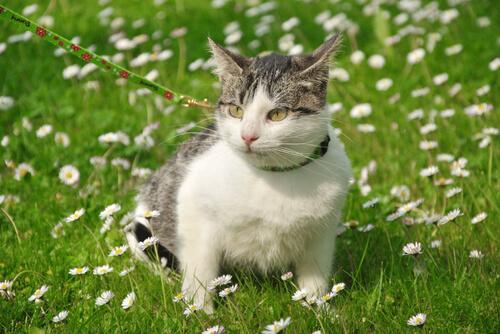 gatto sul prato al guinzaglio