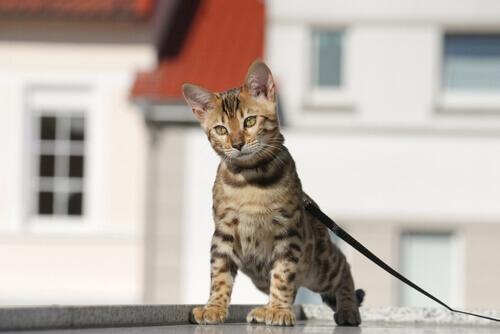 gatto tigrato al guinzaglio