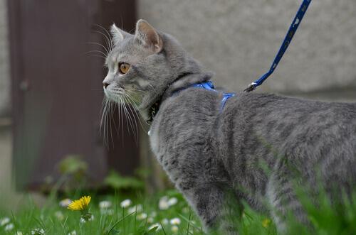 gatto grigio al guinzaglio