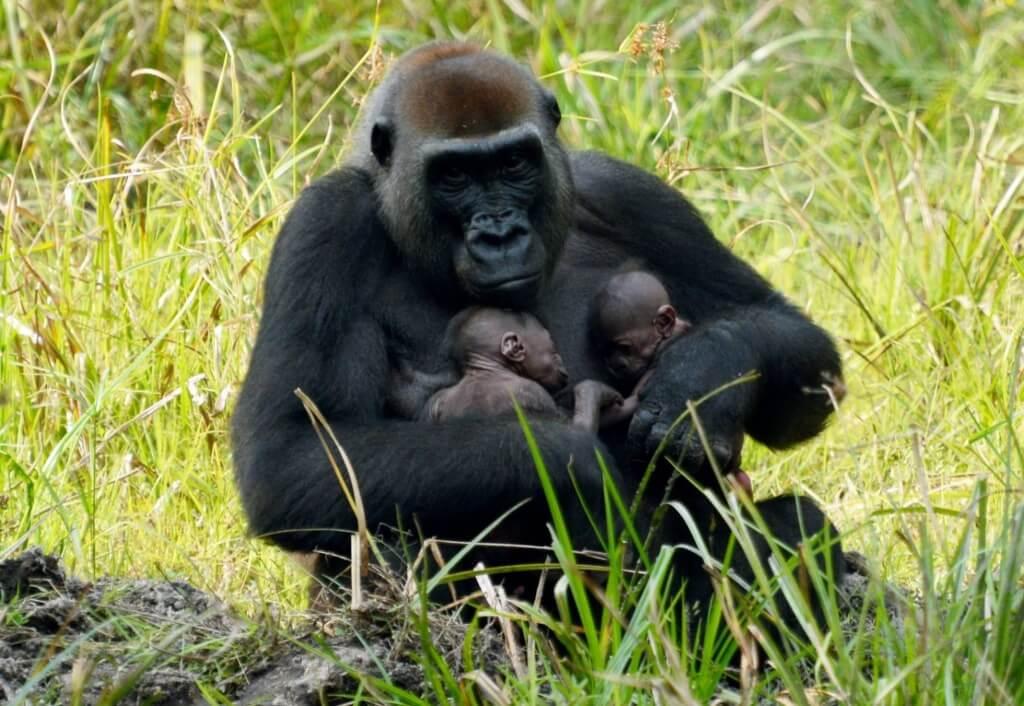 Nati due gemelli di gorilla in Africa centrale