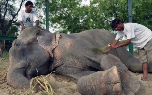 Liberate due elefantesse dopo aver passato 50 anni in catene