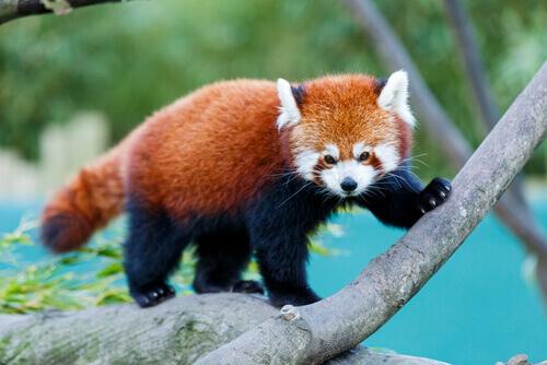 panda-rosso-su-albero