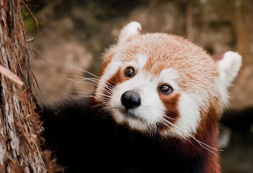 panda rosso