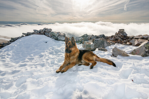pastore tedesco vicino a fiume ghiacciato