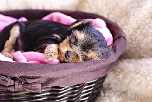 sonno-nei-cani-cucciolo-dorme