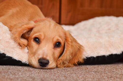 Episodi di vomito nei cani: precauzioni e cure