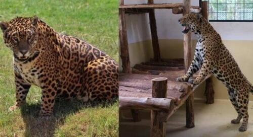 giaguaro femmina